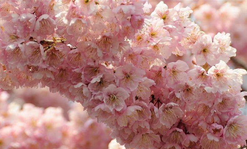姥桜 は、きれいな桜!?: アラ...